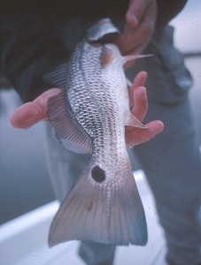 Louisiana redfish don't have much color during the winter, guide Theophile Bourgeois says.