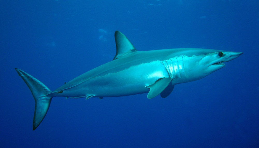 Mako sharks are a top attraction, for Southern California deep sea anglers. Photo by Patrick Doll.