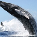 Whale vs. Sailboat 'An Awesome Experience'