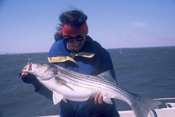 striper striped bass rockfish